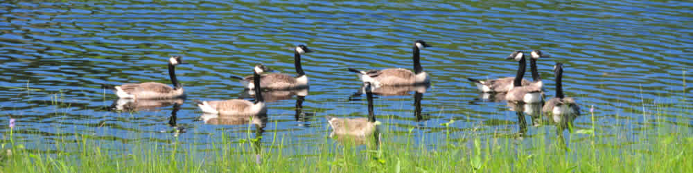 Good old Canada Geese. Yes, we have them too in the Almaguin Highlands